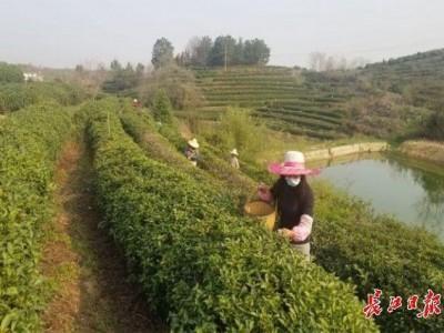 严格防疫有序复工复产,黄陂木兰乡万亩春茶开采