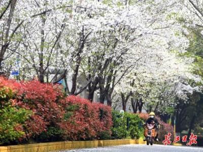 街头樱花都开好了|图集