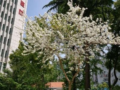 这株白紫荆,花开正盛