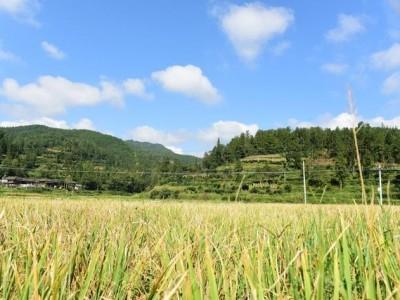 夏天粮油食品有希望大丰收,湖北省将起动麦子托市回收