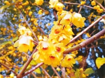 从明天开始进入东湖梅园观赏蜡梅,6岁以下,65岁以上免费。