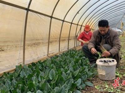多年前,高温适合蔬菜生长。这个村庄每天生产20吨蔬菜。