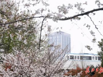 坐樱花轻轨到地角公园看著名的樱花。