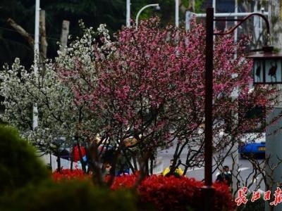 来武汉欣赏海棠的时候!春分时节开启连晴模式