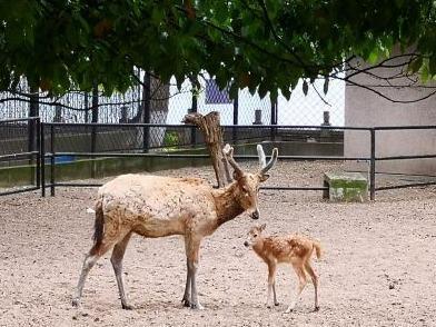 """22日,武汉动物园的动物们要""""复工""""了!3个月不见,小麋鹿小矮马等动物宝宝相继出生 第1张"""