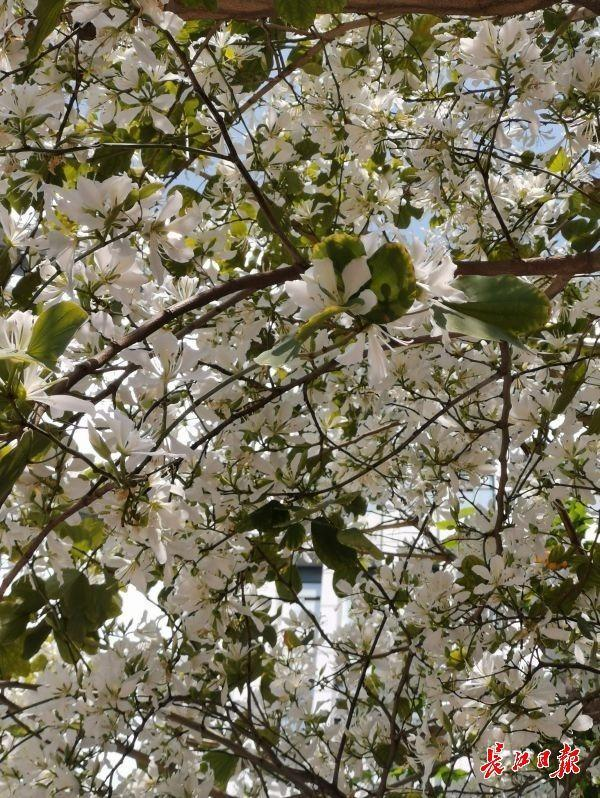 这株白紫荆,花开正盛 第2张
