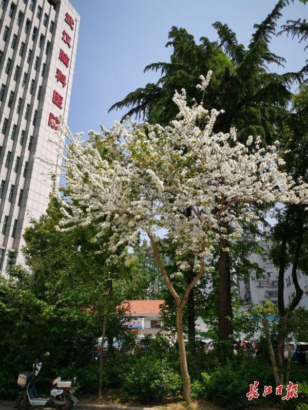 这株白紫荆,花开正盛 第1张