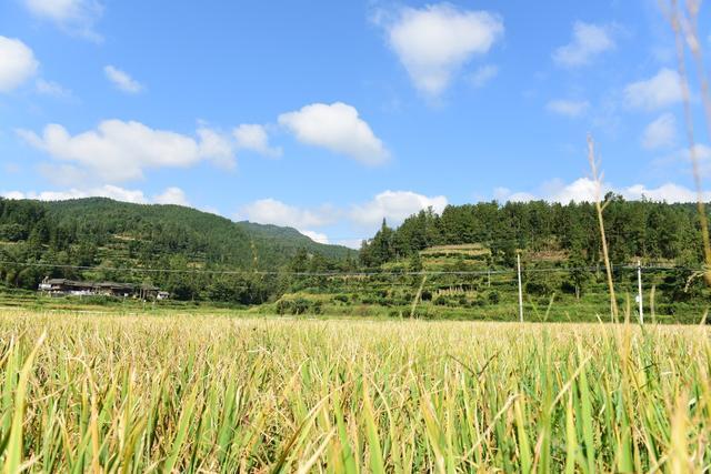 夏天粮油食品有希望大丰收,湖北省将起动麦子托市回收 第1张