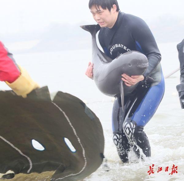 少见!10双头江豚武汉城区江段嬉水 第4张
