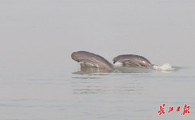 调整国家重点保护野生动物名单,长江江豚升级为一级保护动物 第1张