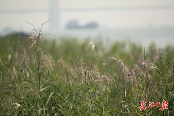 """""""风吹稻花过岸"""",汉口河滩为什么种芦苇不种水稻?解释来了 第1张"""