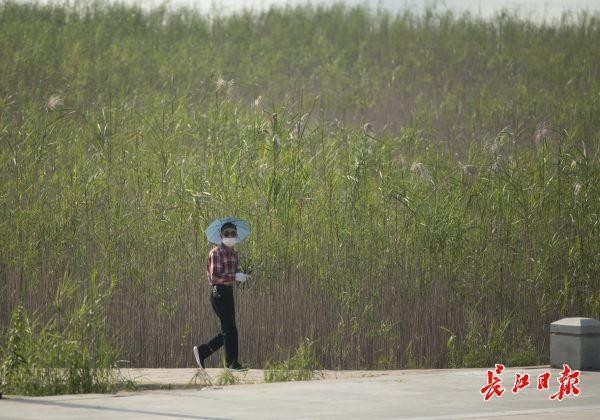 """""""风吹稻花过岸"""",汉口河滩为什么种芦苇不种水稻?解释来了 第2张"""