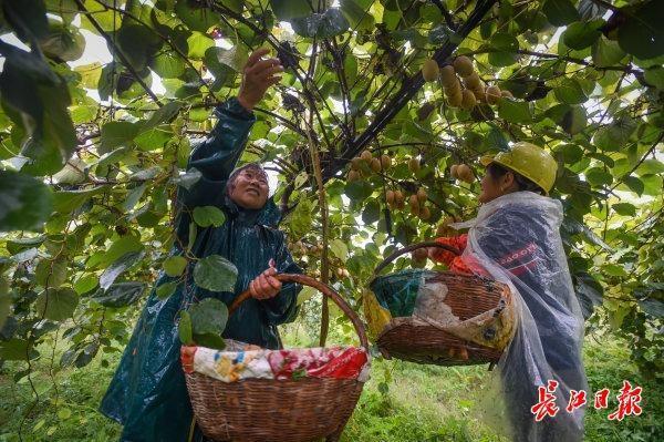 碱土可以生长,比橘子更甜...武汉专家教20个省的70000名农民种植创收型猕猴桃 第3张