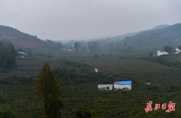 碱土可以生长,比橘子更甜...武汉专家教20个省的70000名农民种植创收型猕猴桃 第2张