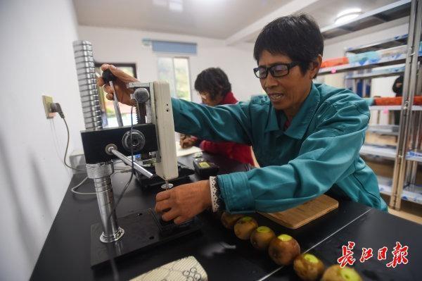 碱土可以生长,比橘子更甜...武汉专家教20个省的70000名农民种植创收型猕猴桃 第7张