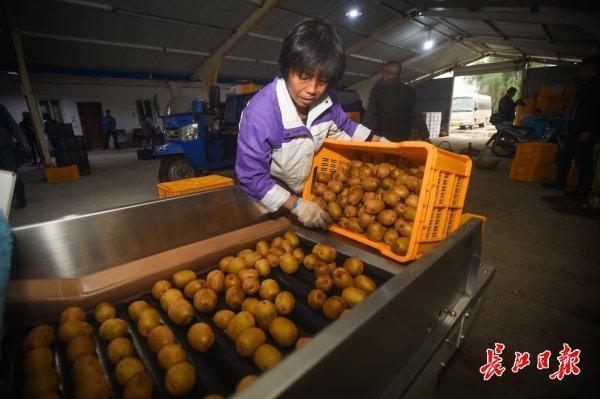 碱土可以生长,比橘子更甜...武汉专家教20个省的70000名农民种植创收型猕猴桃 第5张