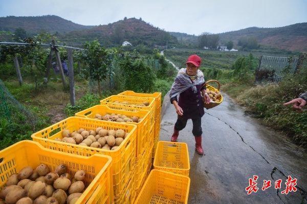 碱土可以生长,比橘子更甜...武汉专家教20个省的70000名农民种植创收型猕猴桃 第4张