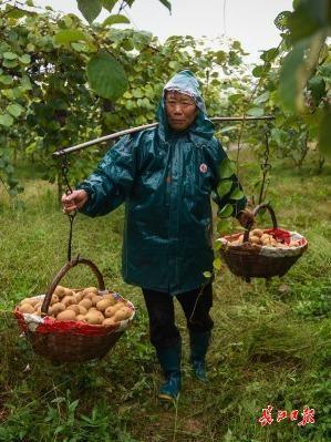 碱土可以生长,比橘子更甜...武汉专家教20个省的70000名农民种植创收型猕猴桃 第6张