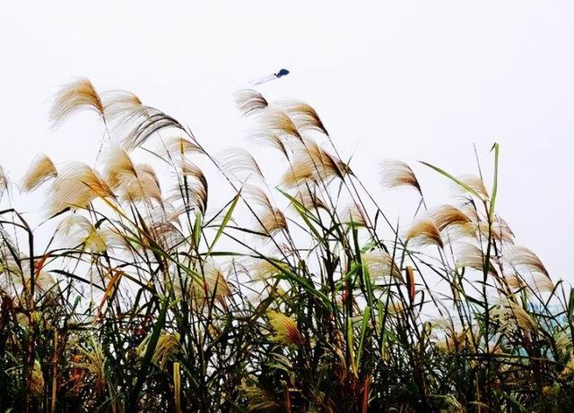这个周末,我来到汉口江滩看书,欣赏芦花。 第1张
