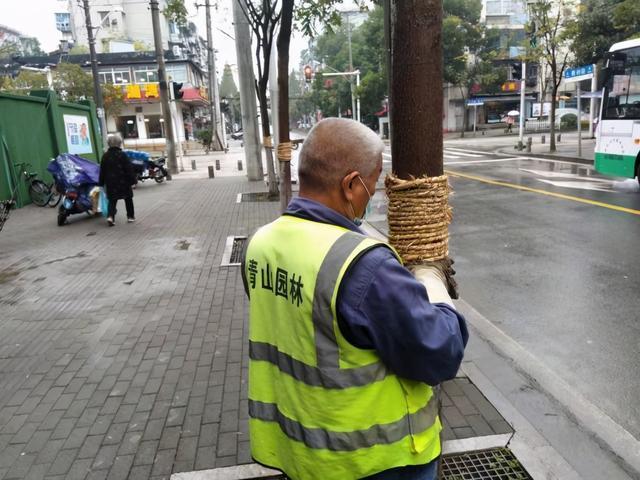 六安树干中间绑的草绳是什么?杀死害虫的新方法。 第2张