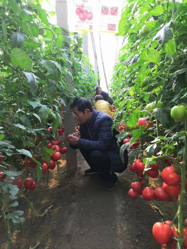 武汉养殖番茄的味道已经成为市场的新宠。 第1张