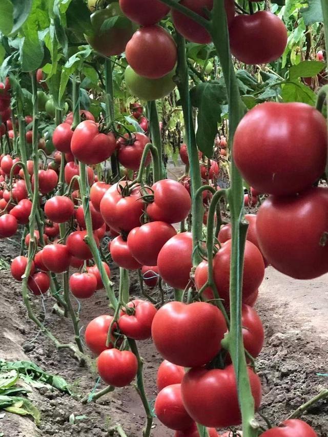 武汉养殖番茄的味道已经成为市场的新宠。 第2张