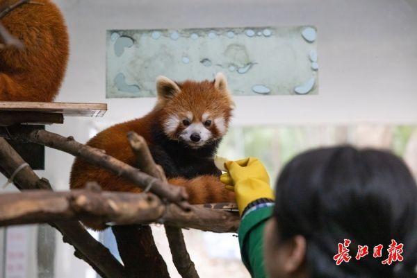 武汉动物园关闭第一周的大象、长颈鹿、熊猫怎么样? 第4张