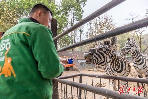 武汉动物园关闭第一周的大象、长颈鹿、熊猫怎么样? 第5张