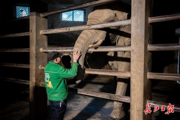 武汉动物园关闭第一周的大象、长颈鹿、熊猫怎么样? 第2张