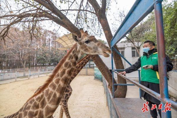 武汉动物园关闭第一周的大象、长颈鹿、熊猫怎么样? 第3张
