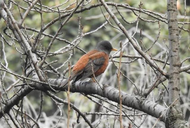 武汉鸟类421新纪录。罗家山发现一只灰头鸫。 第1张