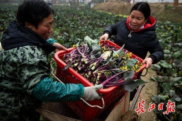 红山花菜不乏故事和普及,千年名菜的出路可以借鉴涪陵榨菜和阳澄湖大闸蟹。 第4张