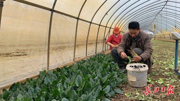 多年前,高温适合蔬菜生长。这个村庄每天生产20吨蔬菜。 第1张