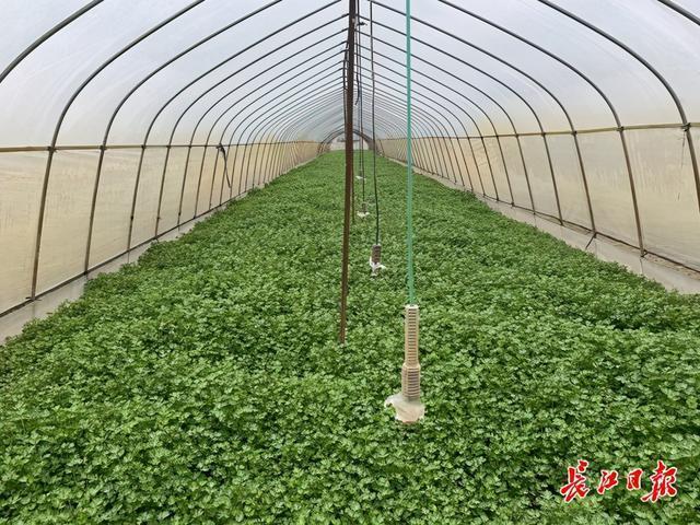 多年前,高温适合蔬菜生长。这个村庄每天生产20吨蔬菜。 第2张