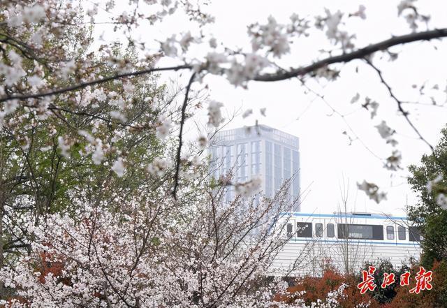 坐樱花轻轨到地角公园看著名的樱花。 第1张