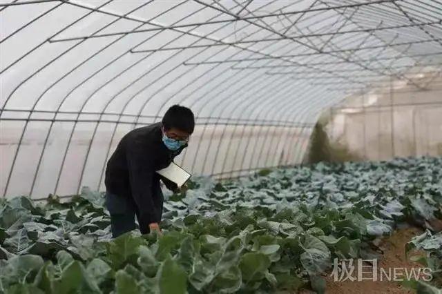 进口西兰花种子按粒出售,车谷建种谷打破垄断。 第1张