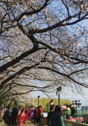 武汉春光灿烂,百花齐放,引来全国赏花客争相。 第19张