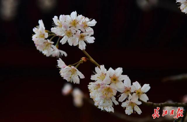 武汉春光灿烂,百花齐放,引来全国赏花客争相。 第22张