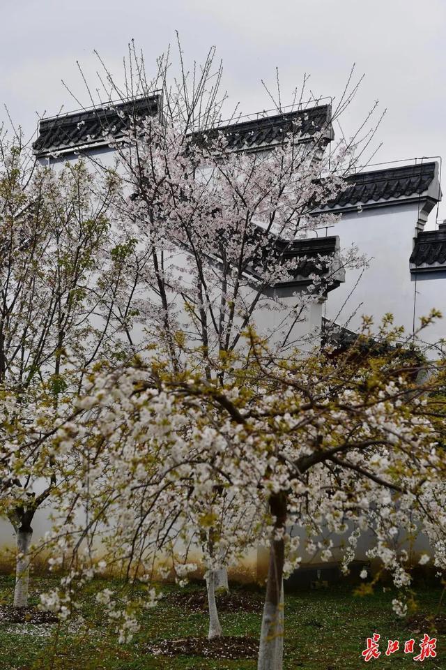 武汉春光灿烂,百花齐放,引来全国赏花客争相。 第20张