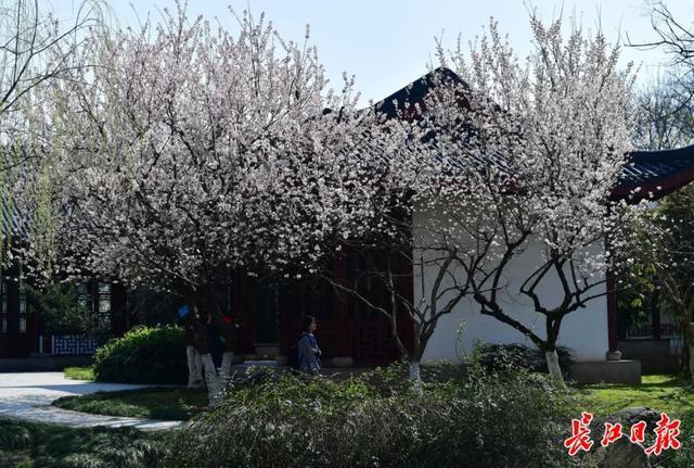 武汉春光灿烂,百花齐放,引来全国赏花客争相。 第21张