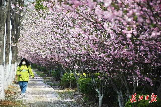 武汉春光灿烂,百花齐放,引来全国赏花客争相。 第24张