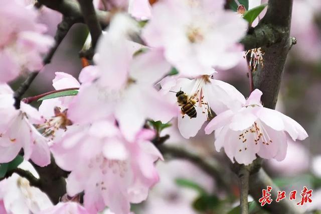 武汉春光灿烂,百花齐放,引来全国赏花客争相。 第27张