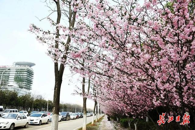 武汉春光灿烂,百花齐放,引来全国赏花客争相。 第29张