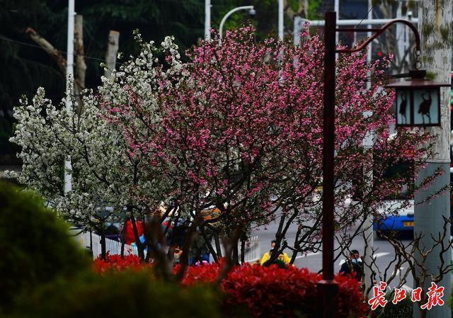 来武汉欣赏海棠的时候!春分时节开启连晴模式 第1张