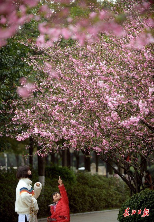 来武汉欣赏海棠的时候!春分时节开启连晴模式 第4张