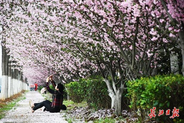 来武汉欣赏海棠的时候!春分时节开启连晴模式 第3张