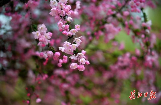 来武汉欣赏海棠的时候!春分时节开启连晴模式 第5张