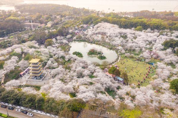 东湖樱花园从4月6日开始关闭,明年不见了。 第2张
