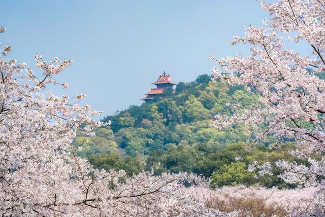 东湖樱花园从4月6日开始关闭,明年不见了。 第1张