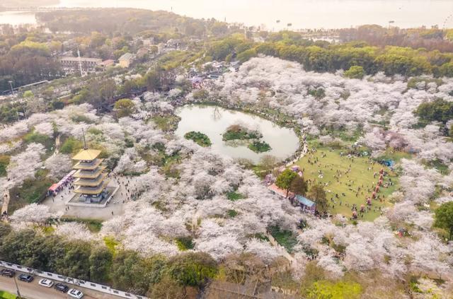 七十八万人次六成外地客,东湖之樱点亮英雄之城。 第5张